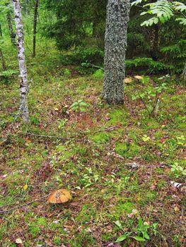 aspen mushrooms in autumn wood