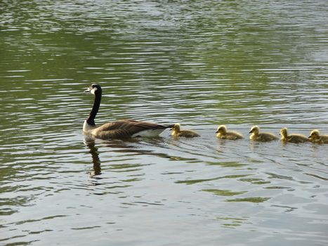 Goose ans babies swimming in a line on a river