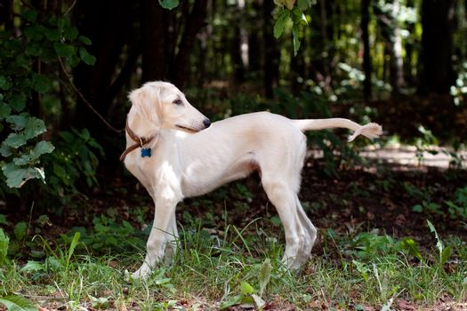 A standing saluki pup in a forest