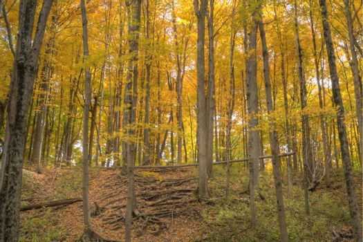 A forest full of yelow autumn colors.