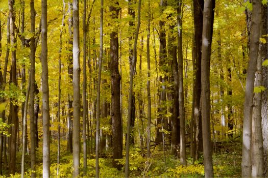 A forest ful of yelow autumn colors.