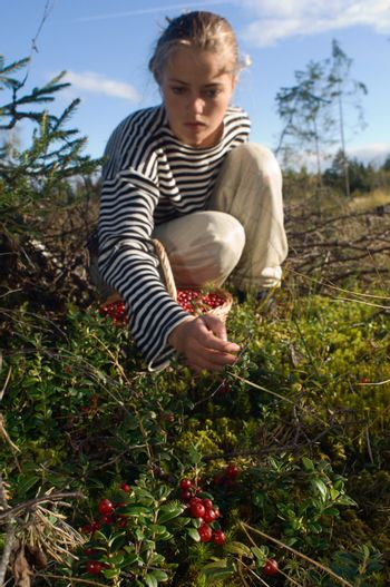 Cowberry gathering