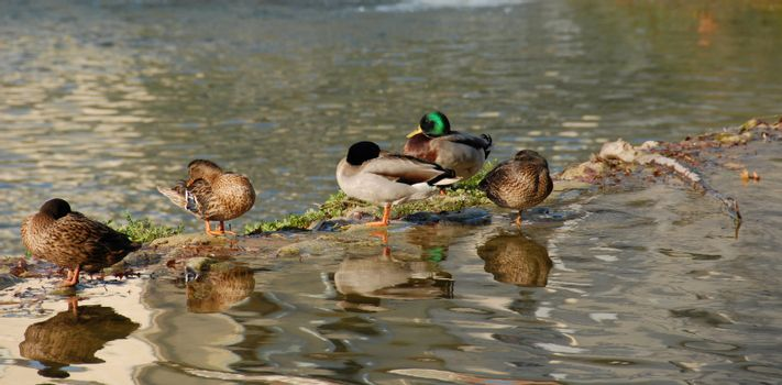 wild duck in a french river: beautiful birds
