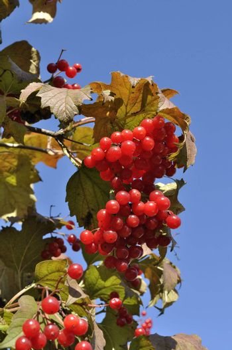 Branch of ripe red viburnum berries in autumn