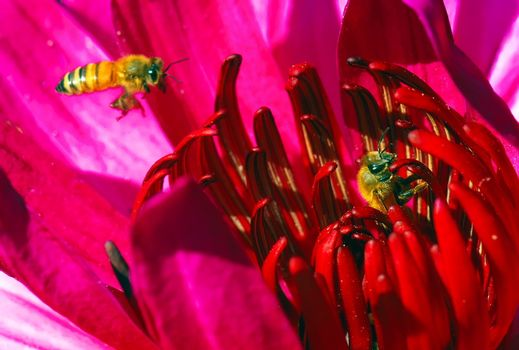Water lily flower Stamen and the bees