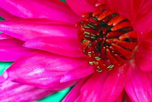 Water lily flower Stamen