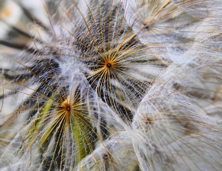 Macro photo of white dandelion