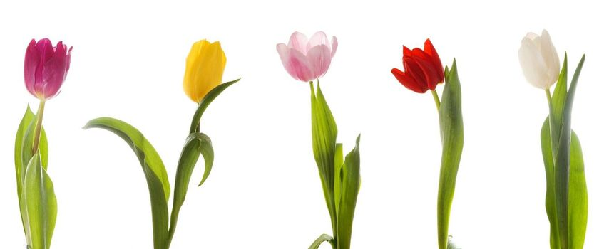 Five multi-colored tulips. Isolated on white