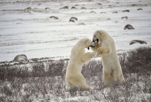 Fight of polar bears. 17