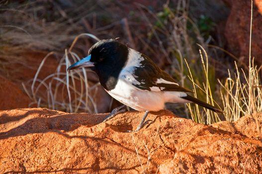 australian bird in the red centre desert, australia