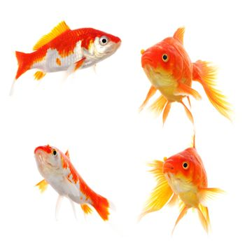 goldfish collection