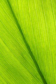 Green leaf of a troplical plant close up