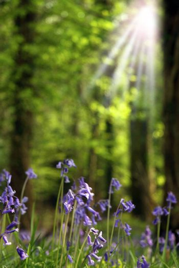 sun rays in a bluebell woods