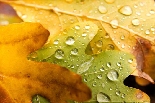 Fallen leaves with raindrops