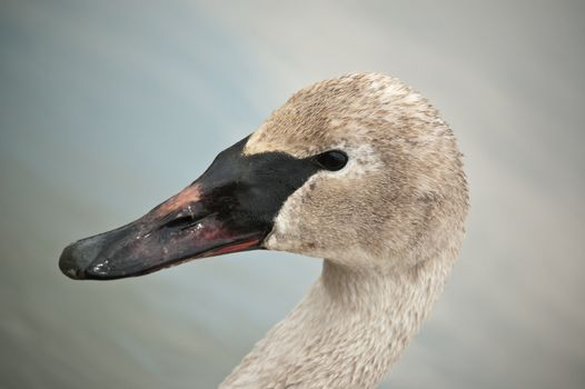 Trumpeter Swan with Muddy Beak