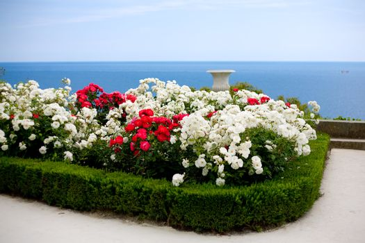 Rose bushes over sea view