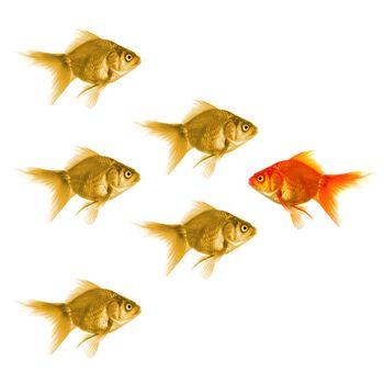 goldfish showing discrimination success individuality leadership or motivation concept