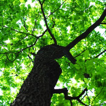 tree in summer forest with green leaves showing nature concept