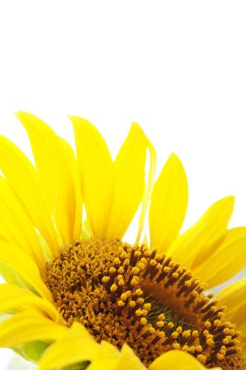 yellow sunflower isolated on white background showing summer concept