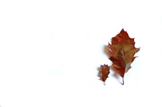 fall,  red,  white,  white background,  background,  leaf,  blade,  oak,  two,  autumn,  drop,  cold,