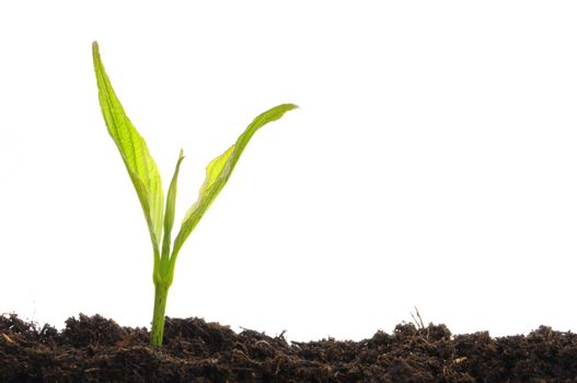 young plant on white with copyspace showing gardening agriculture or growth concept