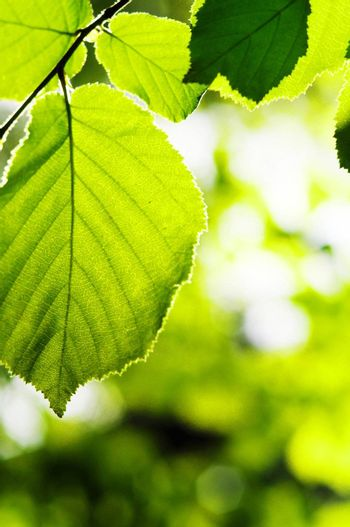 green spring or summer leaves with copyspace