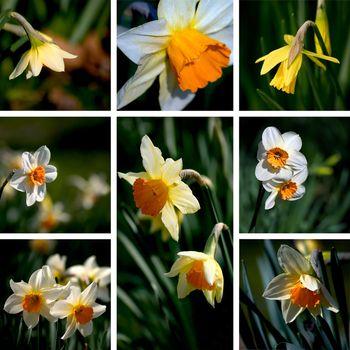 narcissus collage