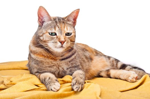 Beautiful young cat relaxing on golden fabric