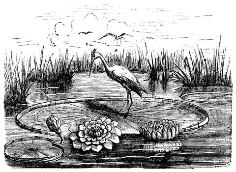 Victoria or Victoria amazonica, vintage engraved illustration. Trousset encyclopedia (1886 - 1891).