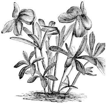 Birdsfoot Violet or Viola pedata, vintage engraved illustration. Trousset encyclopedia (1886 - 1891).