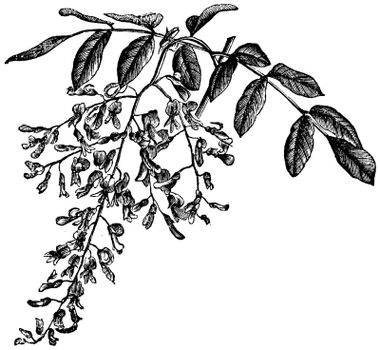 American Yellowwood or Cladrastis kentukea, showing flowers, vintage engraved illustration. Trousset encyclopedia (1886 - 1891).