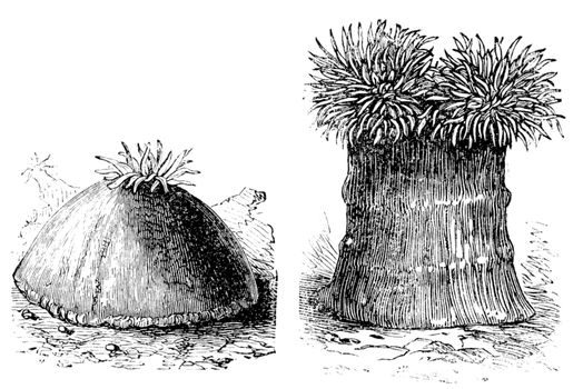 Opened and close sea anemone old engraved illustration. Sea anemones are a group of water-dwelling, predatory animals of the order Actiniaria.