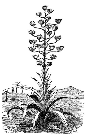 Century plant or Agave Americana old vintage engraving. Engraved illustration vector. Originally from Mexico but cultivated worldwide as an ornamental plant.