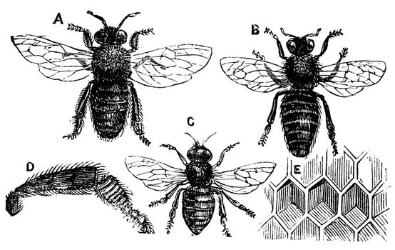 A. Male - B. Female - C. Neutral - D. Rear leg - E. Honeycomb or honey cell. Old vintage illustration from Trousset Encyclopedia 1886 - 1891, live traced vector.