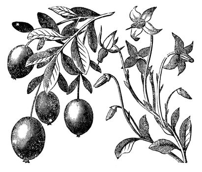 Cranberry vintage engraving. Old antique engraved illustration of cranberry plant.