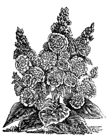 Double dwarf hollyhocks or Alcea rosea vintage engraving. Old engraved illustration, in vector, of a double dwarf hollyhock plant and flowers.