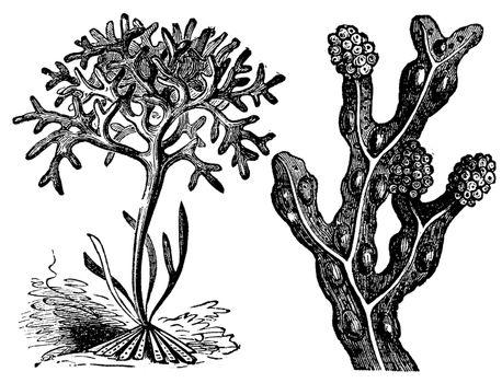 Chondrus crispus , irish moss or Fucus vesiculosus, bladderwrack engraving, old antique illustration of diffrents algaes.