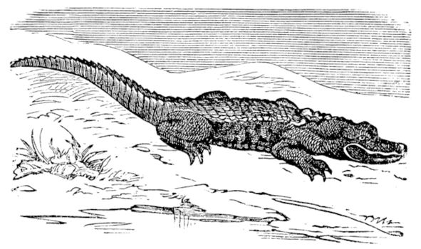 American Alligator engraving, or Alligator Mississippiensis. Old engraved illustration of an alligator laying near water.