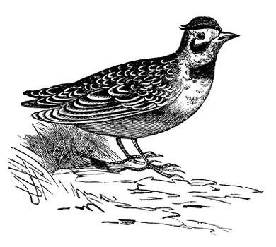 Horned lark or Eremophila alpcstris vintage engraving. Old engraved illustration of a horned lark bird in his environment.