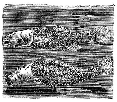 Northern cavefish or  Amblyopsis spelaea vintage engraving. Bottom and side view of the cavefish in dark water. Vector illustration.