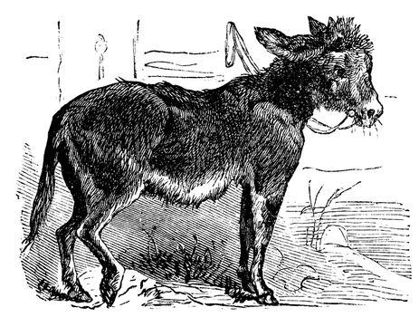 Domesticated donkey, ass, asinus vulgaris or Equus africanus asi