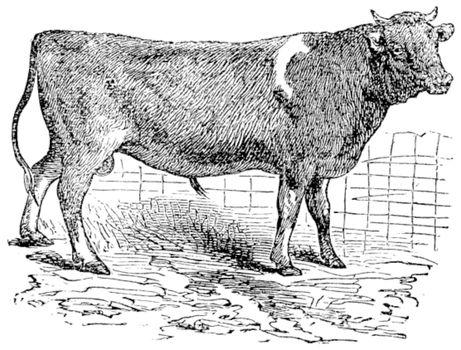 Alderney, cattle, vintage engraving.