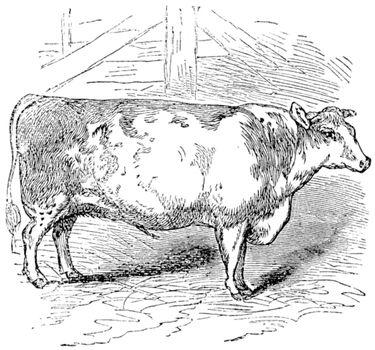 Beef Shorthorn, cattle, Durham, England, vintage engraving.