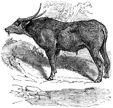 Water buffalo or Bubalus bubalis, buffalo, Indian, vintage engra