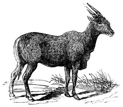 Oreas Canna, Eland or South African antelope vintage engraving