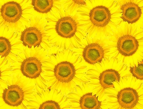 background from sunflowers heads
