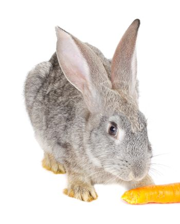 close-up gray rabbit eating carrot, isolated on white