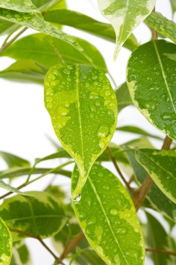 close-up ficus leaves with drops of water