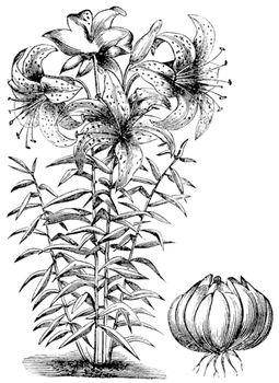 Gilded lily (Lilium auratum), vintage engraving