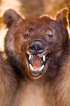 Bear show his Teeth